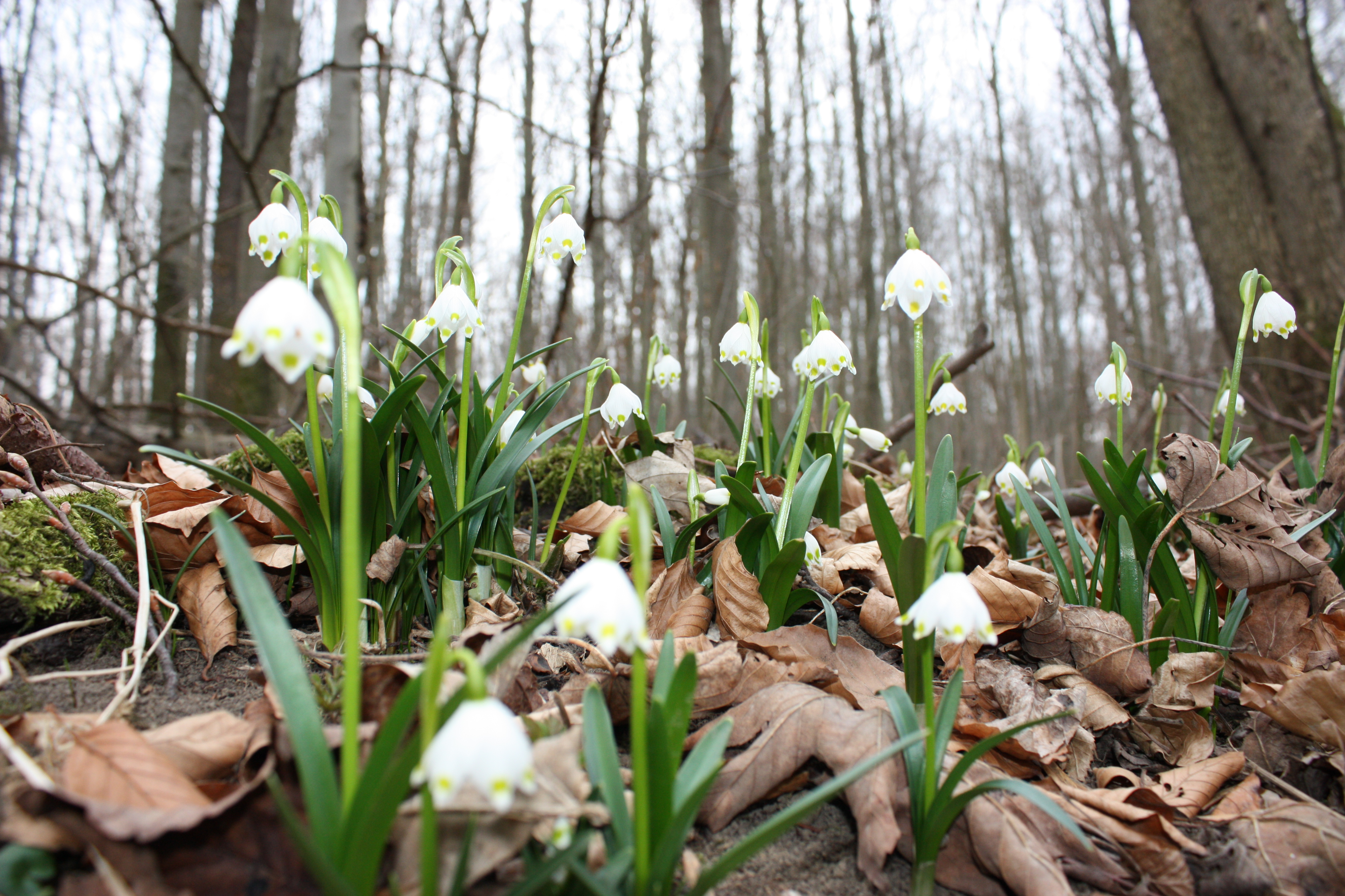 Schneeteppich kontra Märzenbecherwiesen