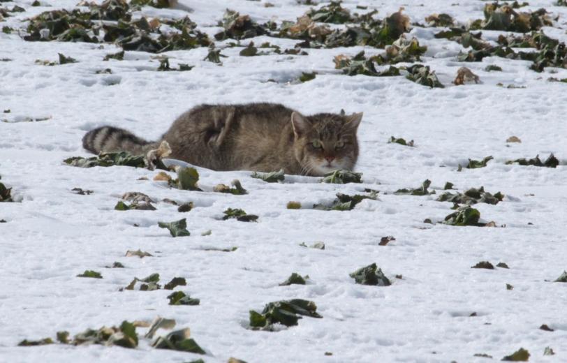 Winter-Nachwirkungen locken Wildkatzen aus dem Wald
