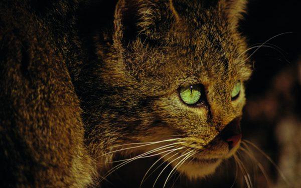 Wildkatze zum Tier des Jahres 2018 gewählt